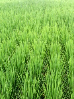 ogaki green