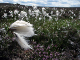 bennachie cotton grass